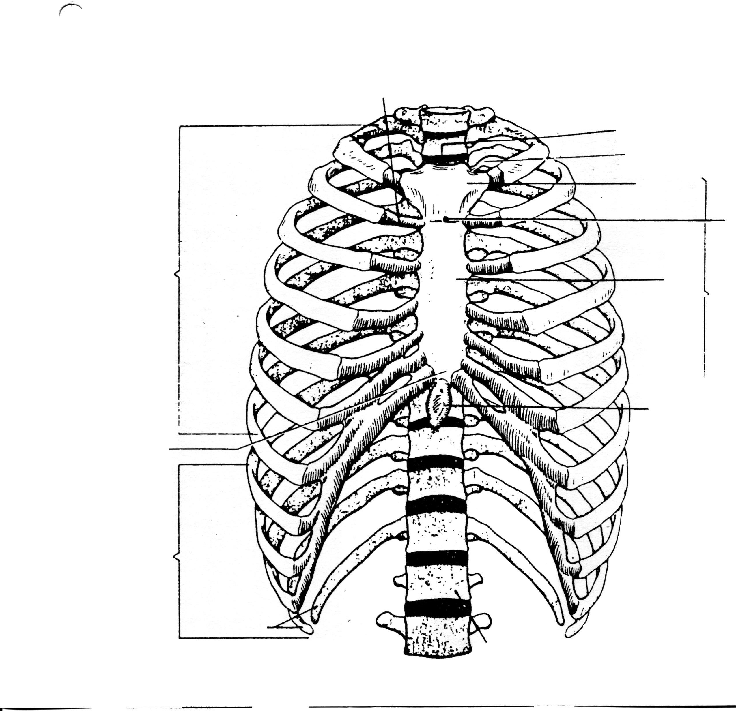 Human Rib Cage Drawing At Getdrawings