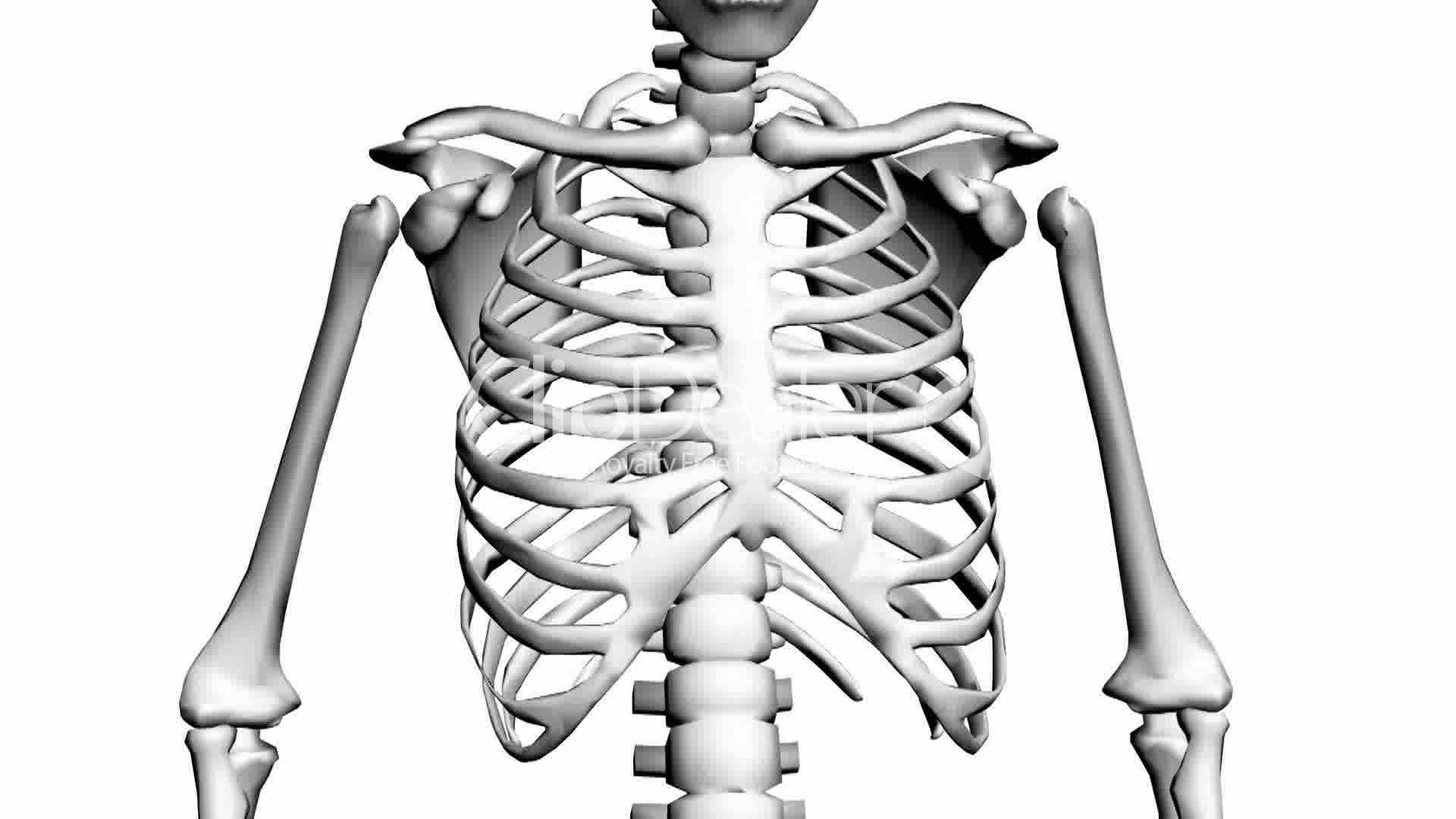 Human Skeleton Drawing At Getdrawings
