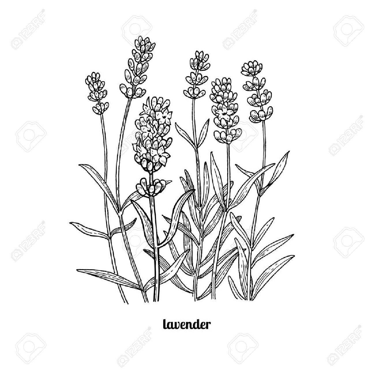 Lavender Line Drawing At Getdrawings