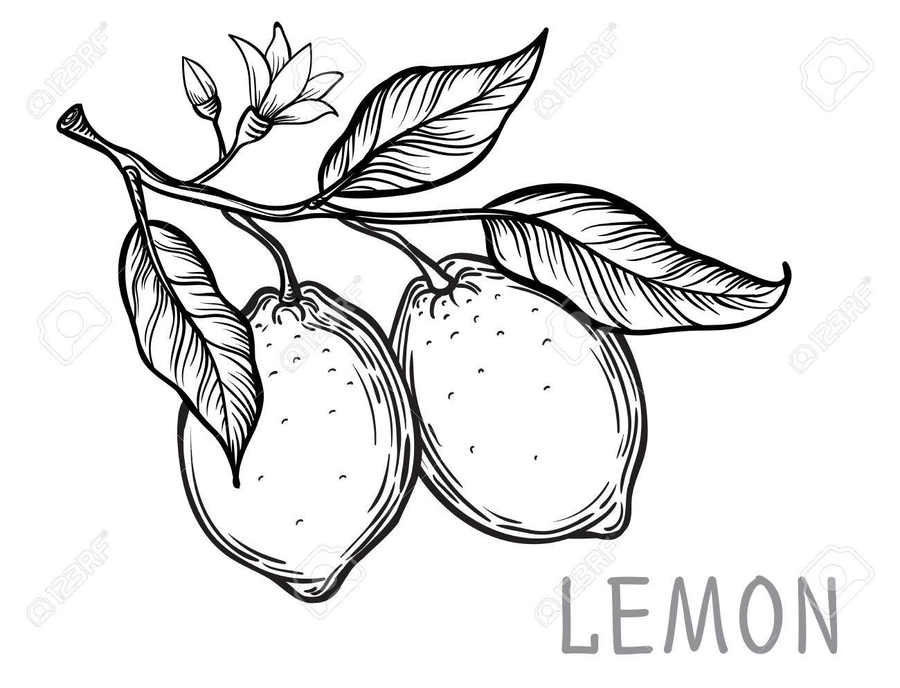 Lemon Drawing At Getdrawings
