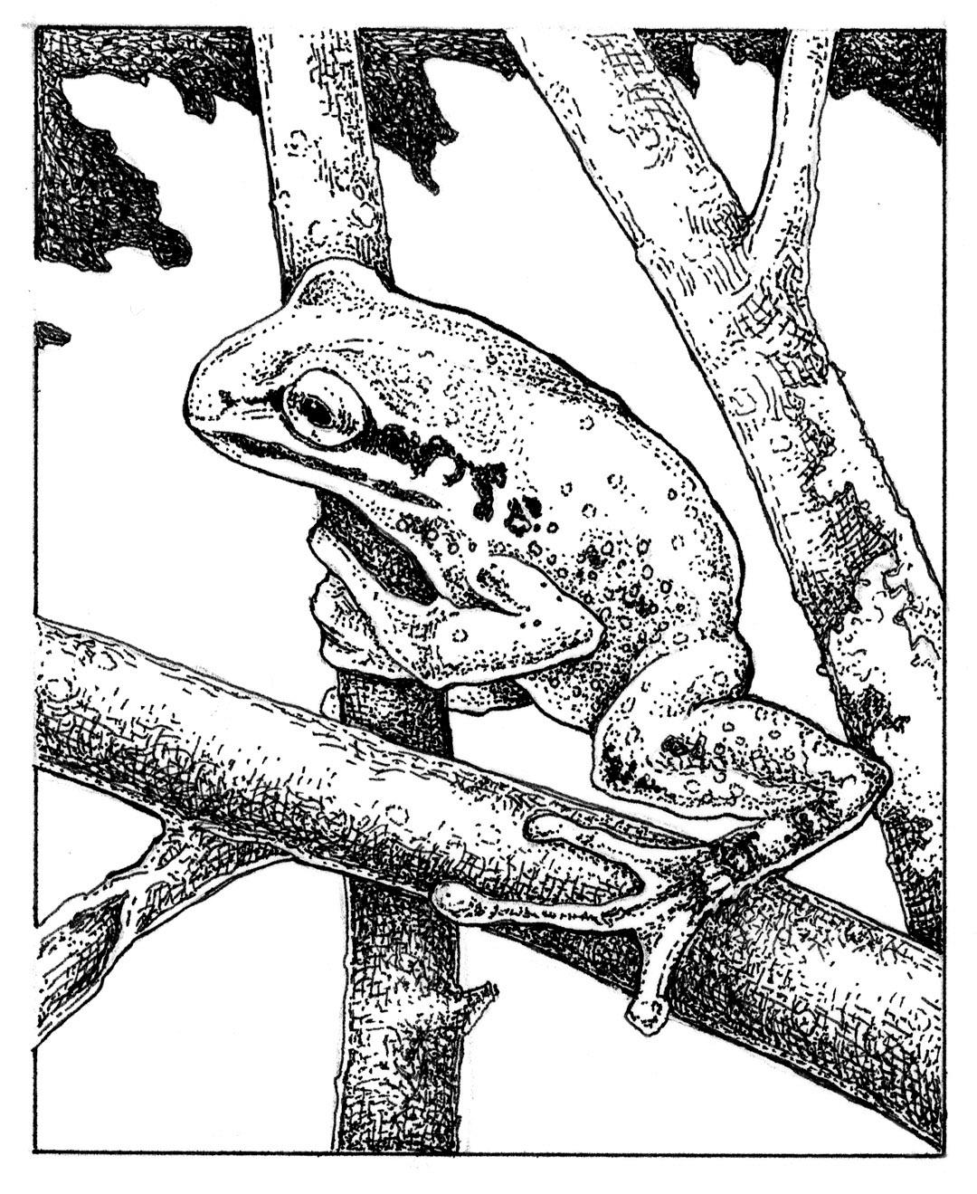 Frog Drawings Sketching Vector Frog Stuff T Frogs