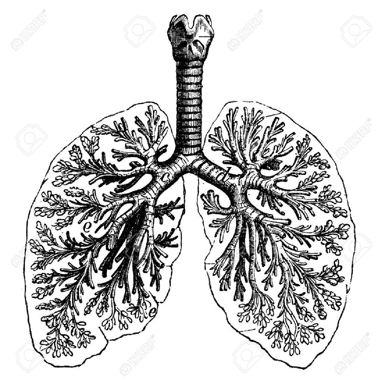 Lungs Drawing At Getdrawings