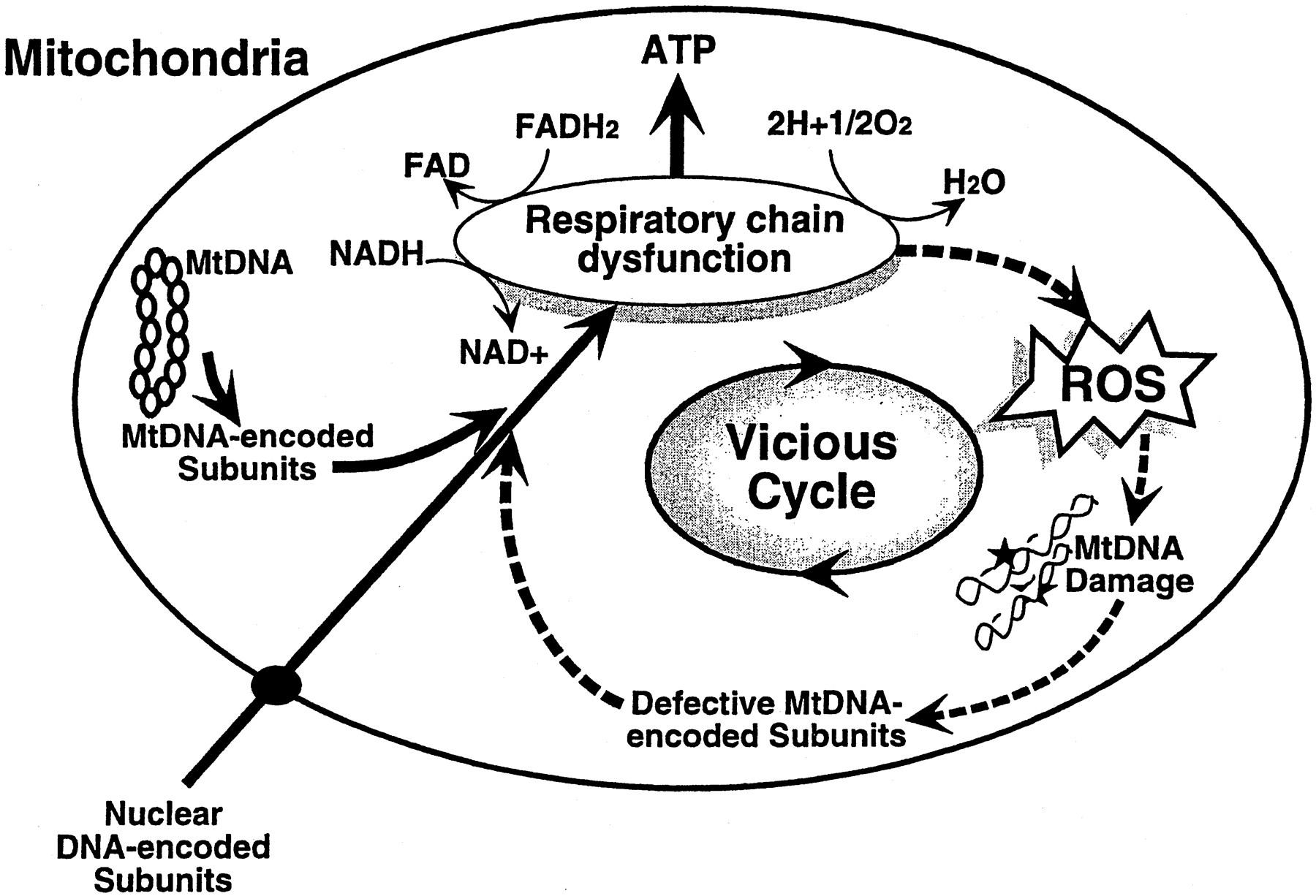 Mitochondria Drawing At Getdrawings