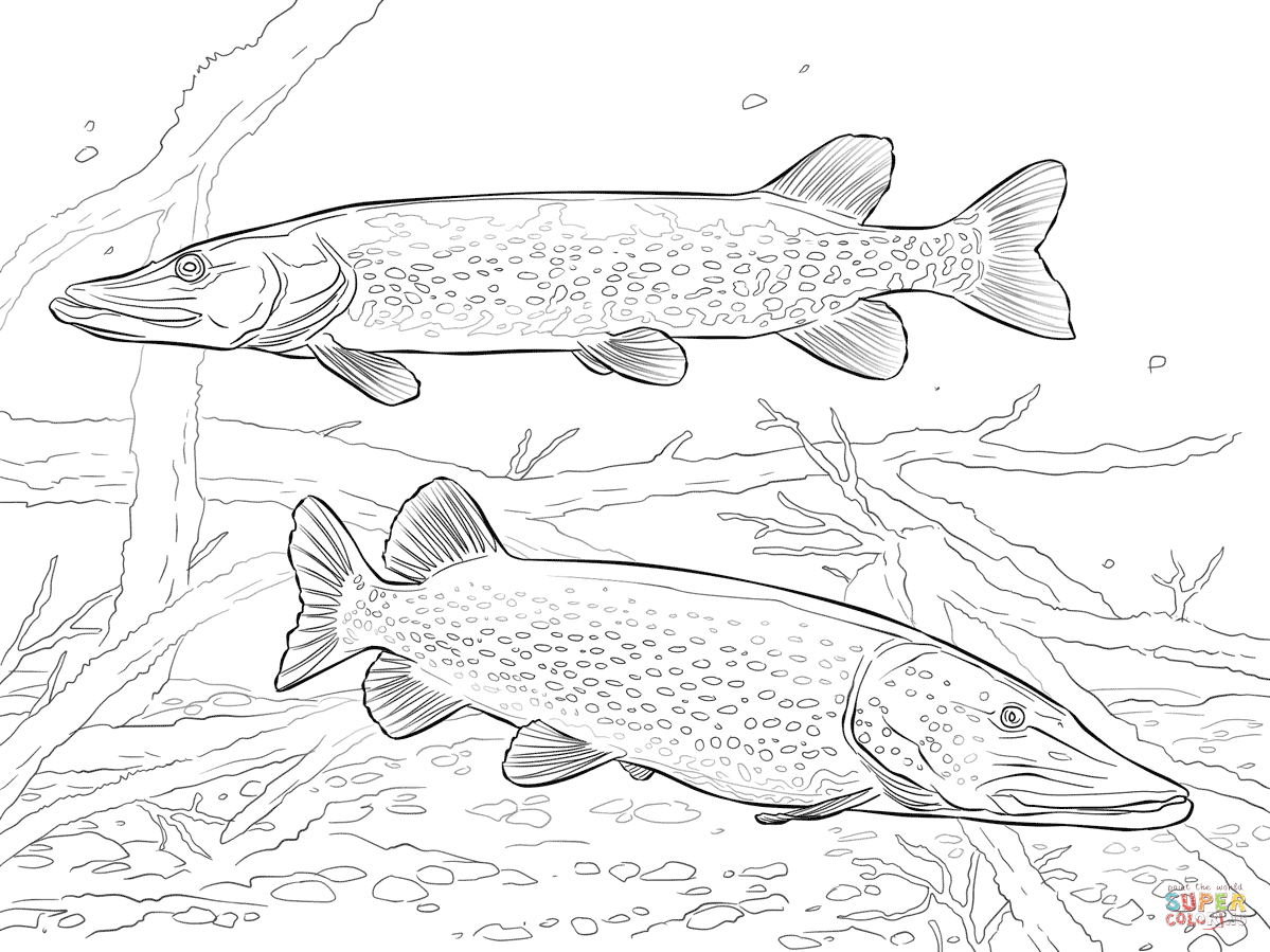 Pike Fish Drawing At Getdrawings