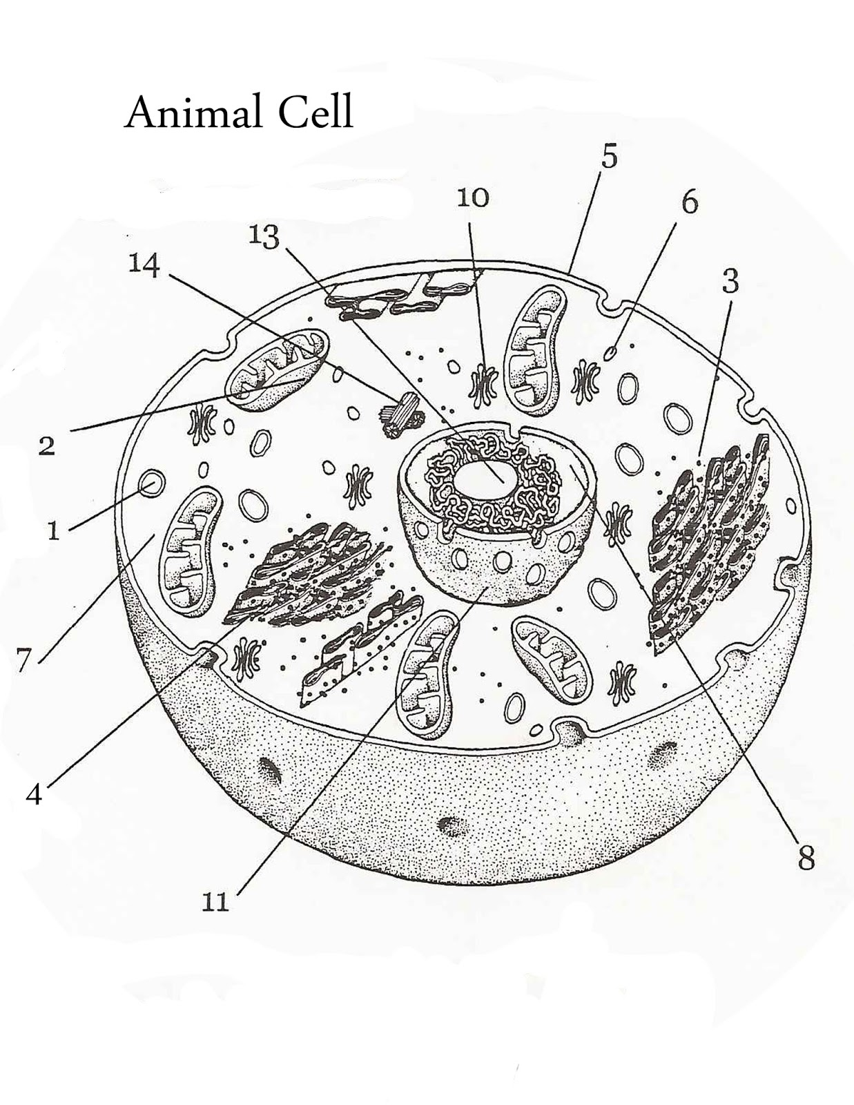 Animal Cell Diagram Unlabeled