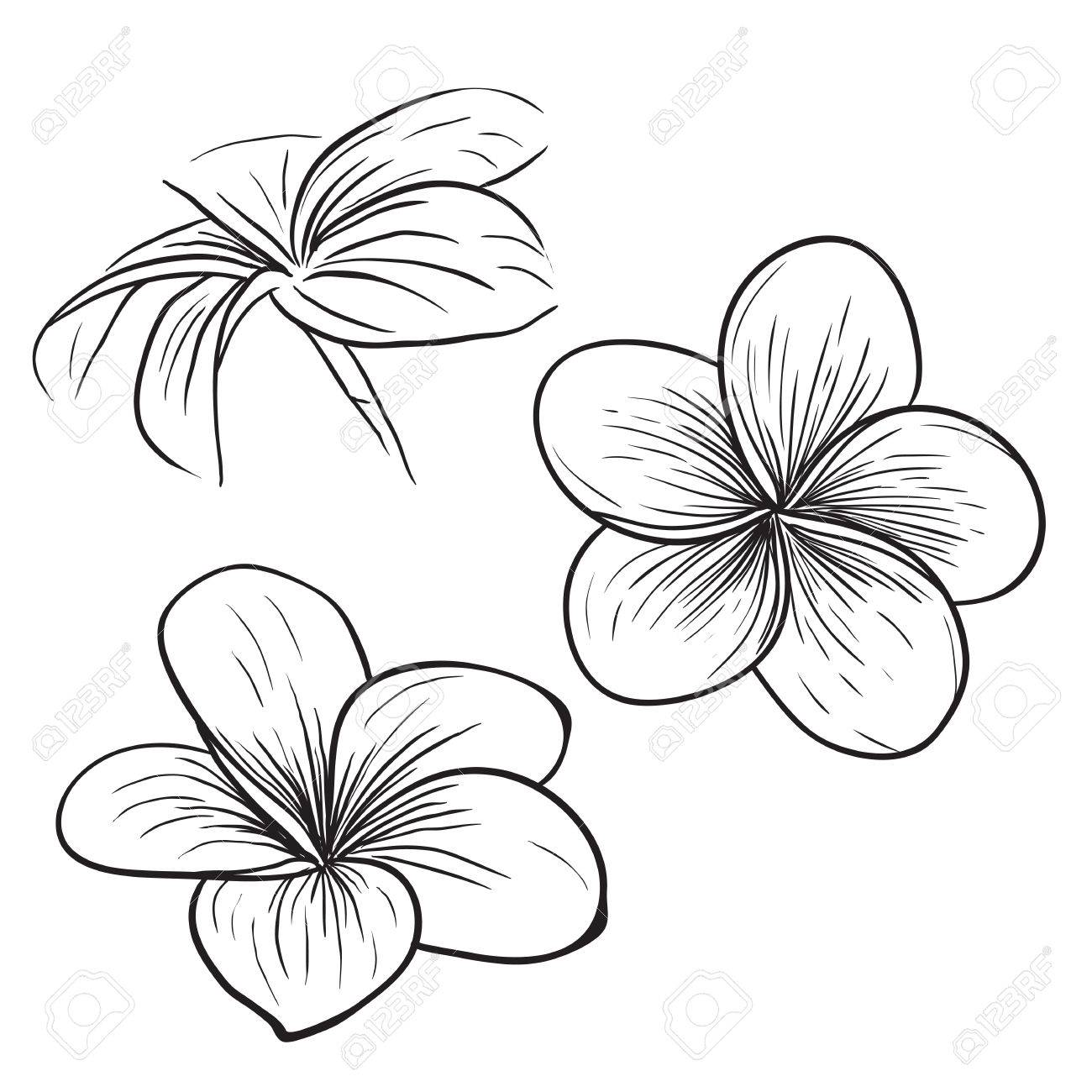 Plumeria Line Drawing At Getdrawings