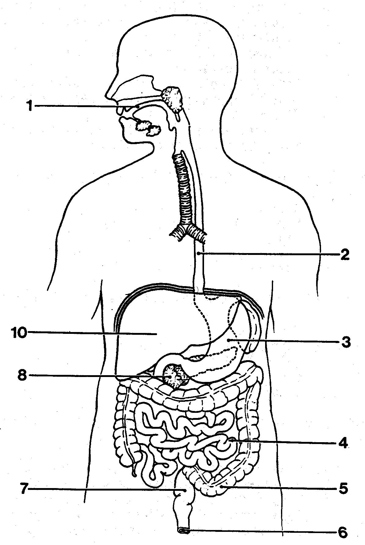 Digestive System Diagram Parts