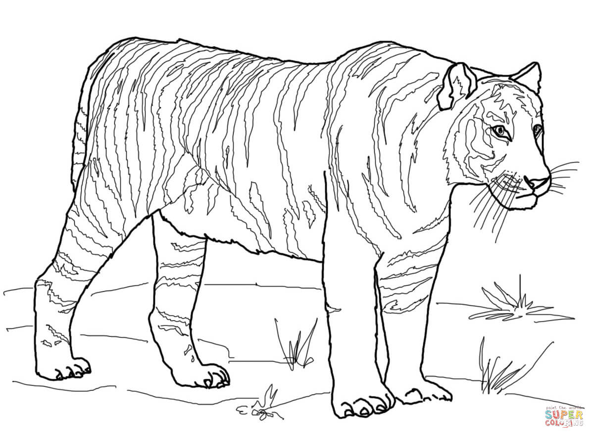 Sabre Tooth Tiger Drawing At Getdrawings