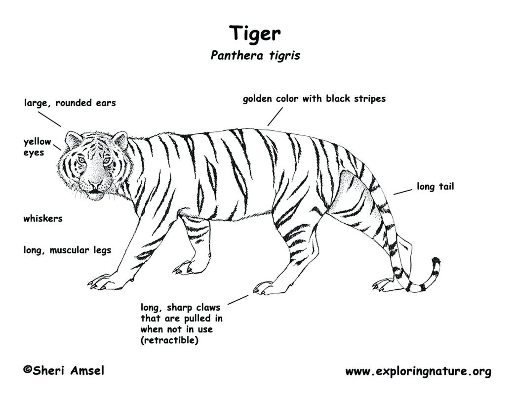 Siberian Tiger Drawing At Getdrawings