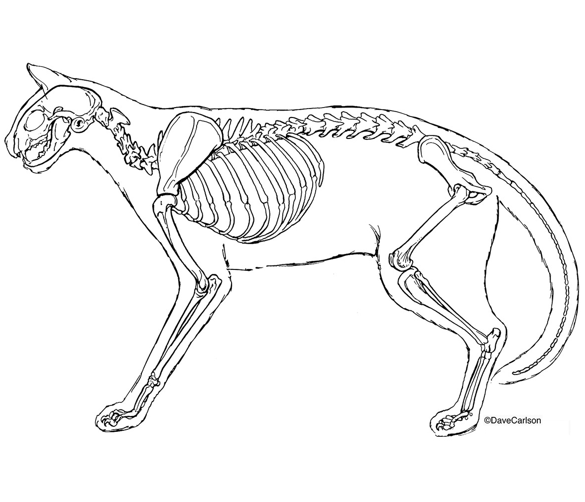 Skeleton Line Drawing At Getdrawings