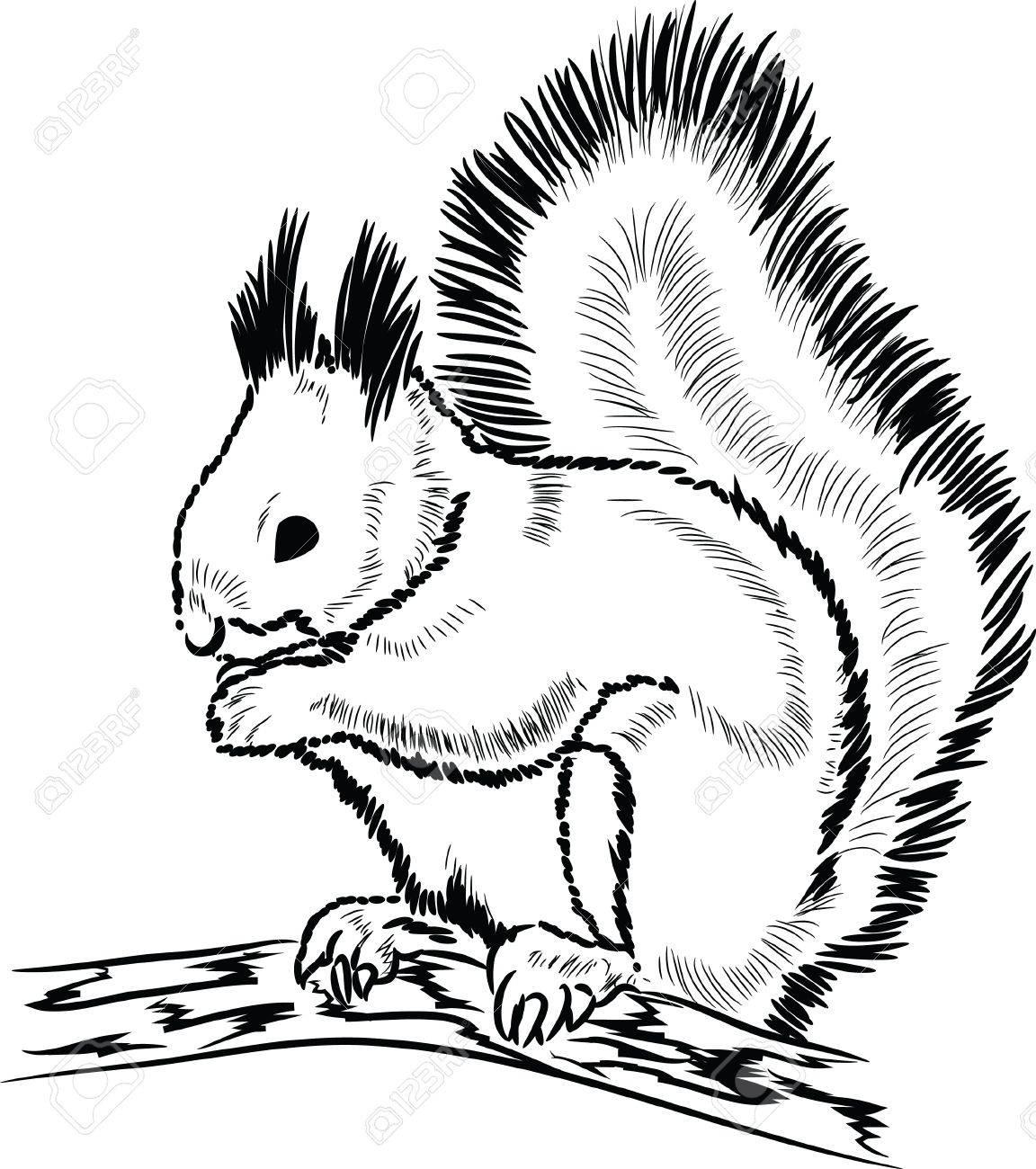 Squirrel Pencil Drawing At Getdrawings