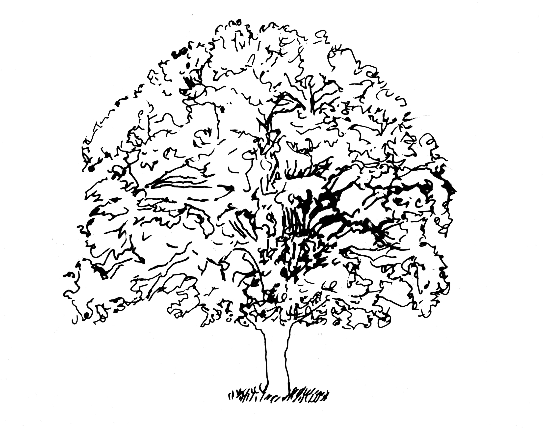 White Pine Tree Drawing At Getdrawings Com