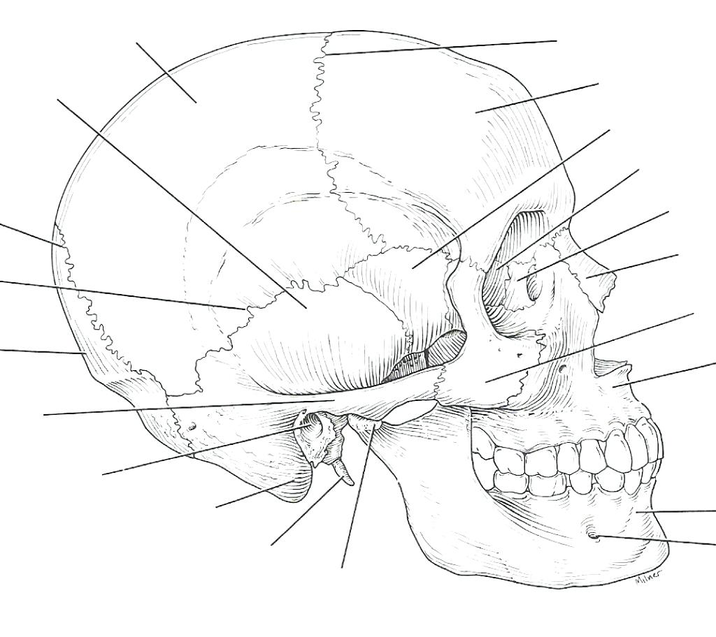 Triceratops Skeleton Drawing At Getdrawings