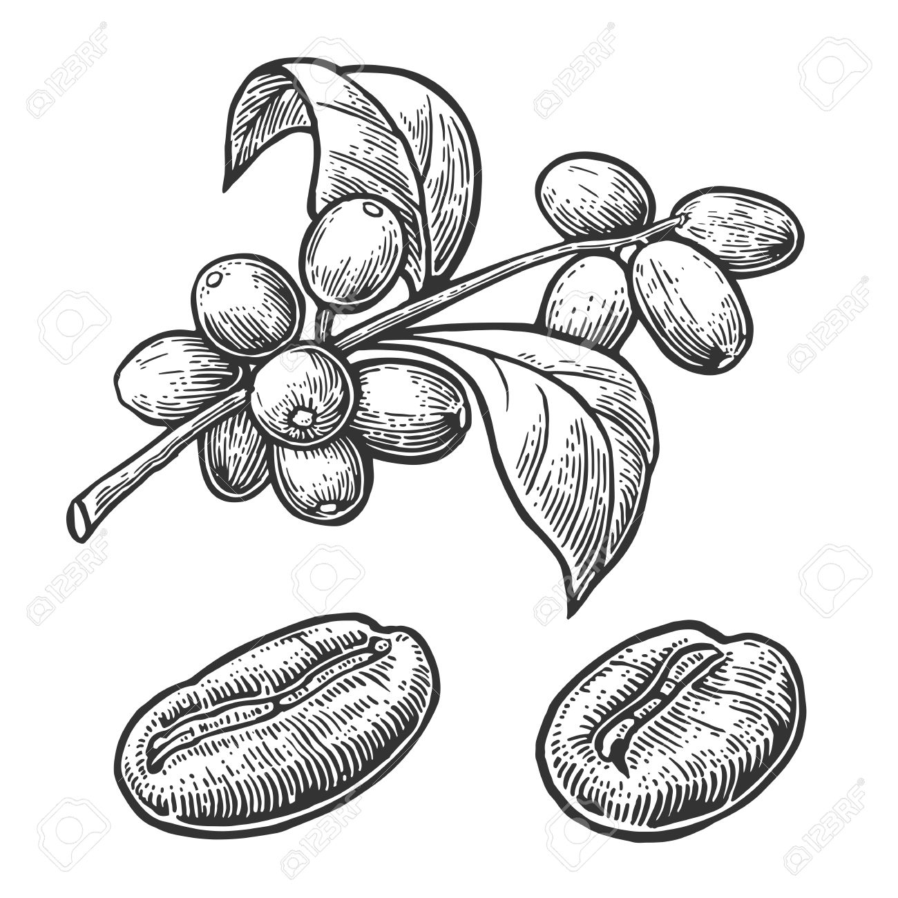 The Best Free Bean Drawing Images Download From 363 Free