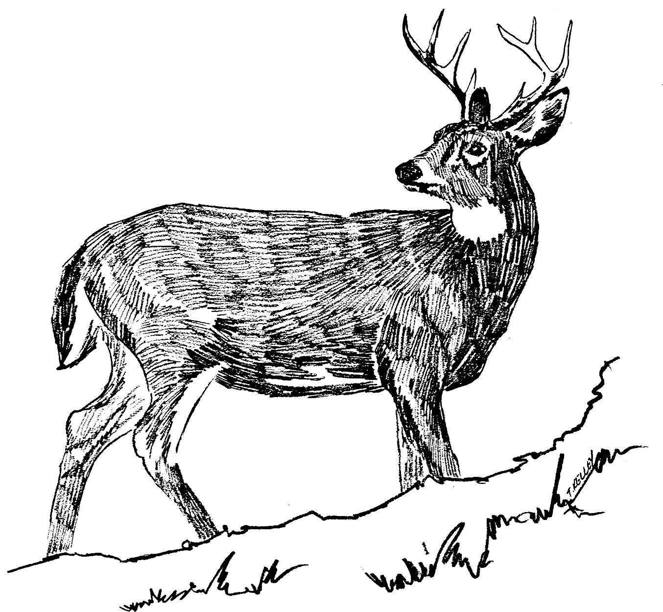 White Tailed Deer Drawing At Getdrawings