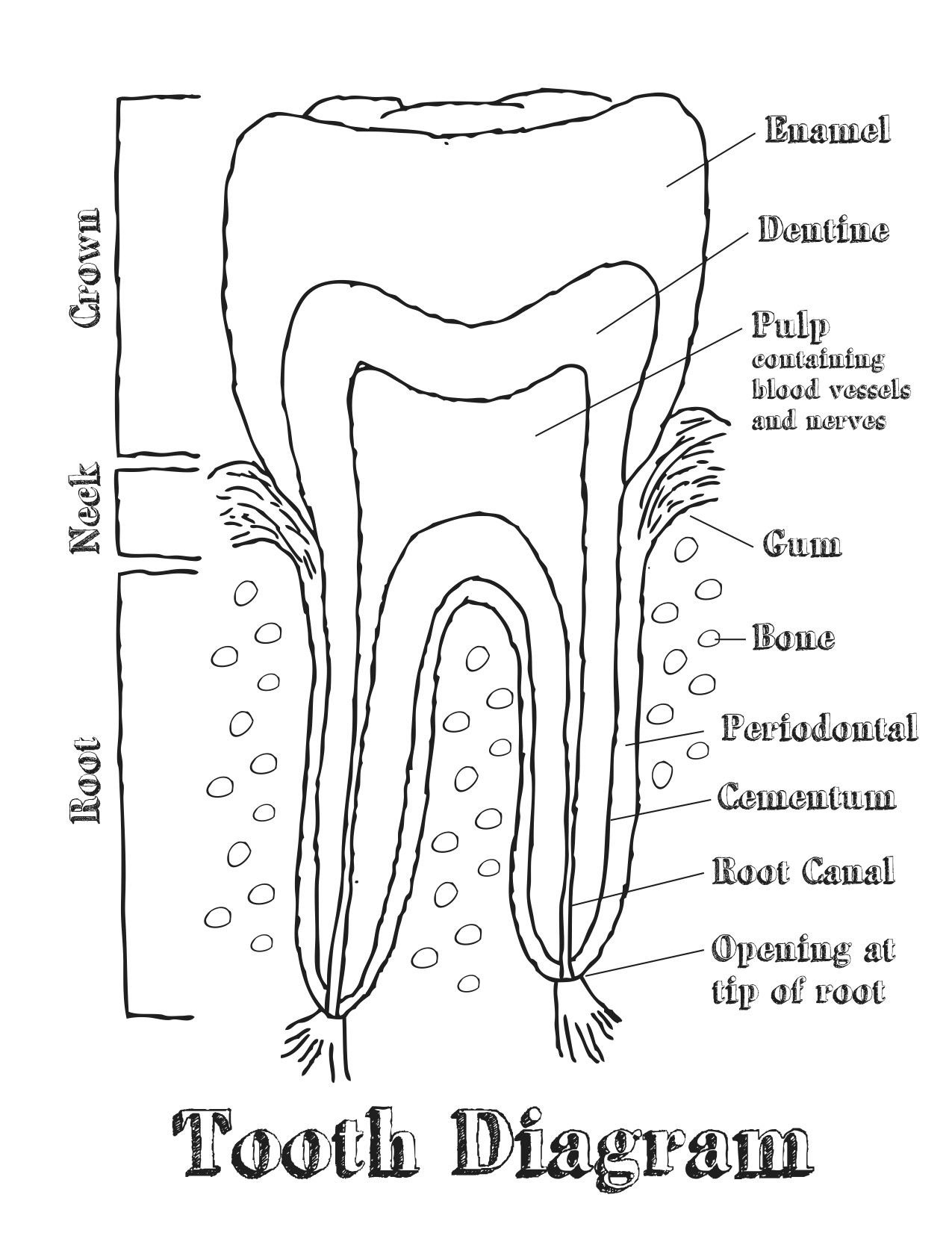Human Teeth Drawing At Getdrawings