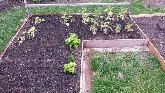Planting Garden June 1 2015