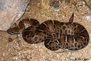 Rattlesnakes are active at night