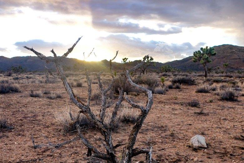 Joshua Tree - Juniper Flats