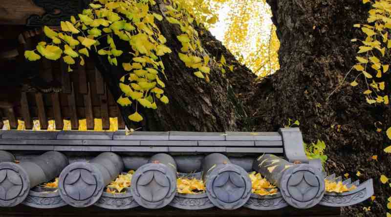 Anrakuji Abombed gingko tree