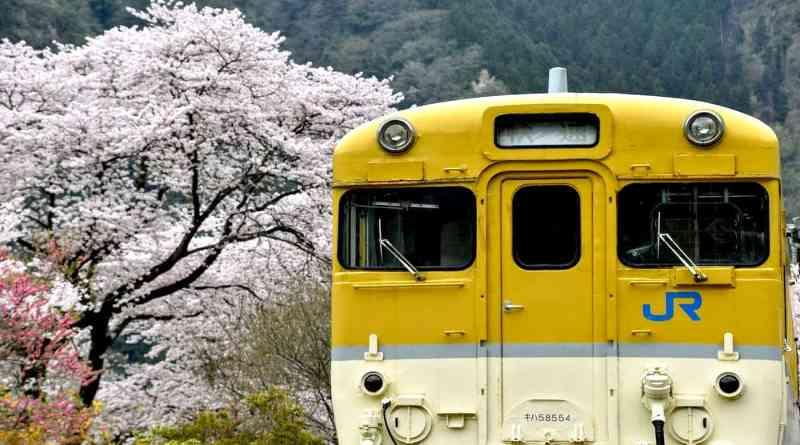 sakura hanami cherry blossom viewing at yasuno station in hiroshima, japan