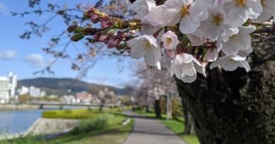 Yokogawa Riverside Sakura Walk