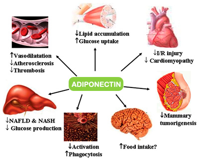 Adiponectin and your body