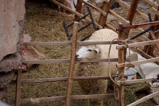17 sheep sm