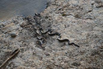 57 black snake baby complete sm