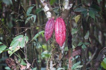 66 cacao sm