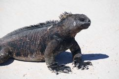beach iguana 1 sm