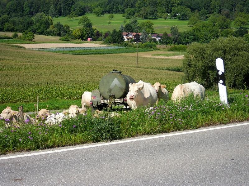 Mucche alle porte di Kandern