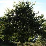 Locronan - Locronan-albero.jpg