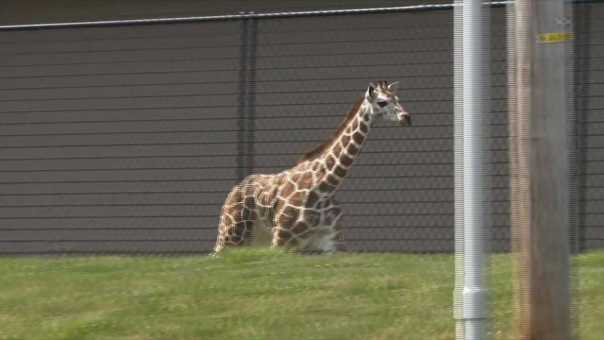 Raw: Young Giraffe Breaks Out Of Fort Wayne Zoo