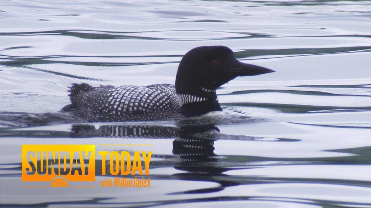 Inside The Mission To Protect The Loons Of New Hampshire's Lake Winnipesaukee | Sunday TODAY