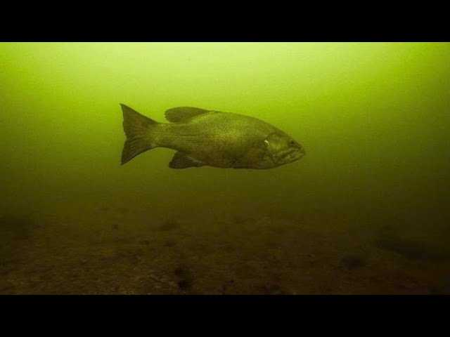 Catch Pressured Bass Using a Stealthy Swimbait Approach