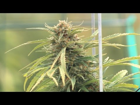 """Effects of Marijuana on body by """"60 Minutes"""" [Video]"""