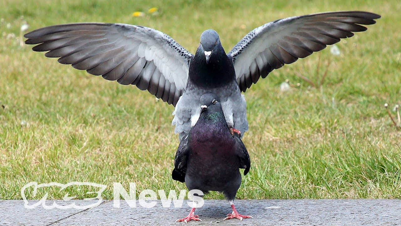 How Gangsta Are Pigeons?