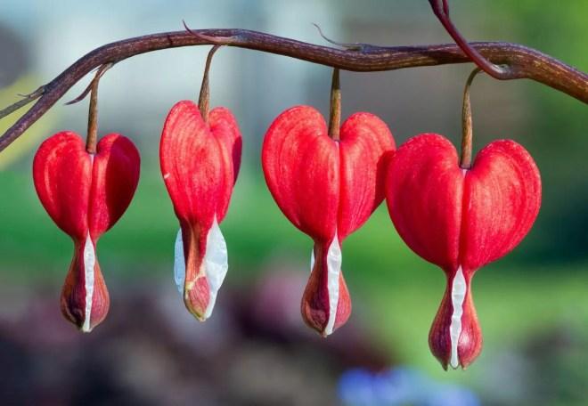The Bleeding Heart flower