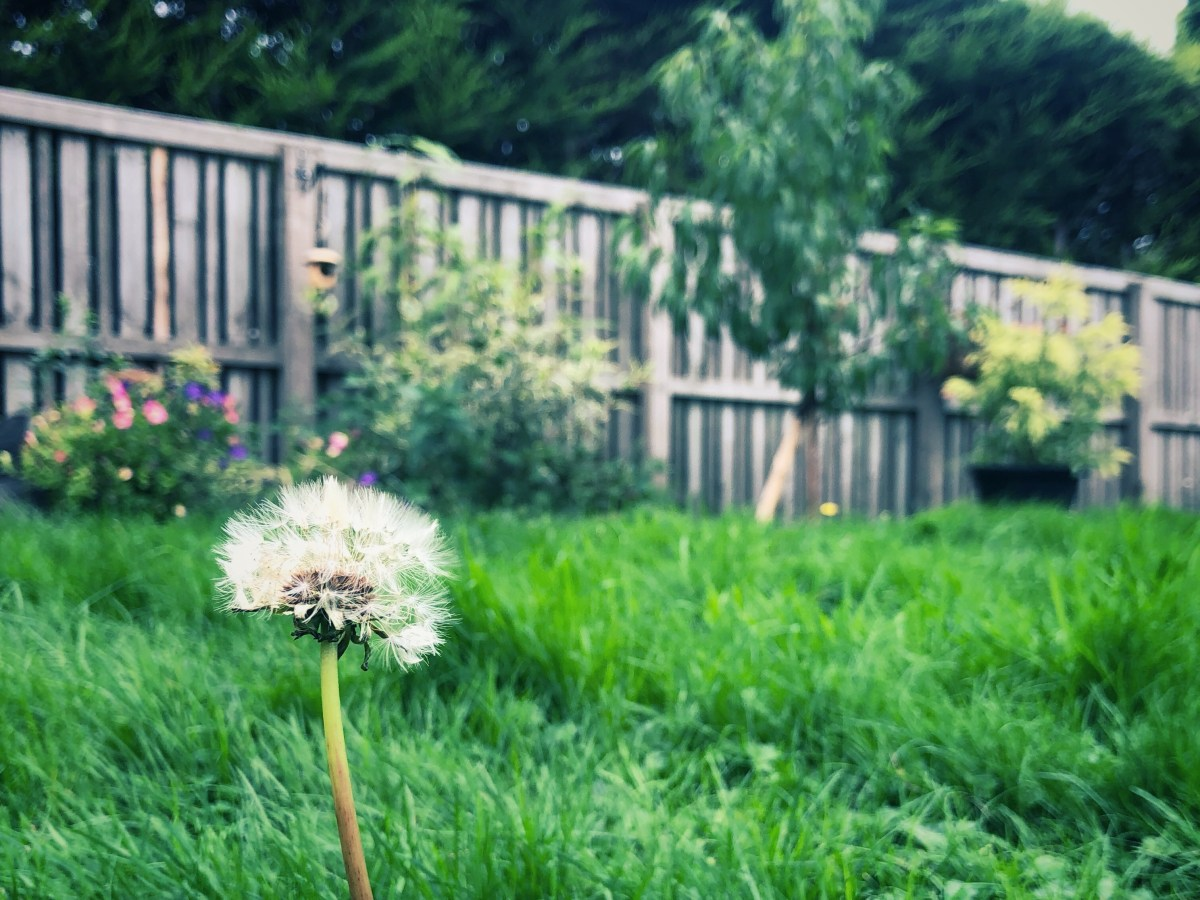 Dandelion coming up out of the grass