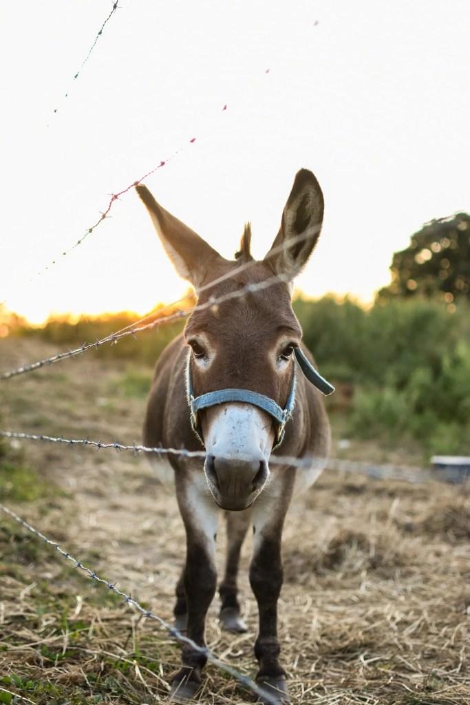 mule or donkey