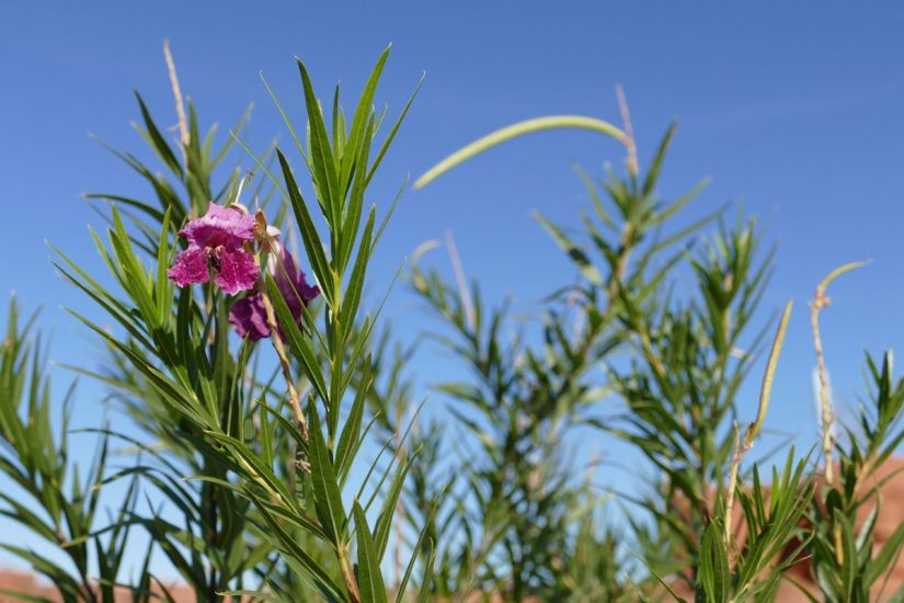 Lucretia desert willow flowers are really good sources of nectar for bumblebees and hummingbirds