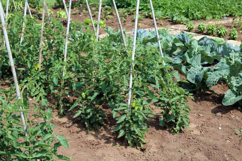 What you need to grow roma tomatoes outdoor and what are the obstacles that you will face
