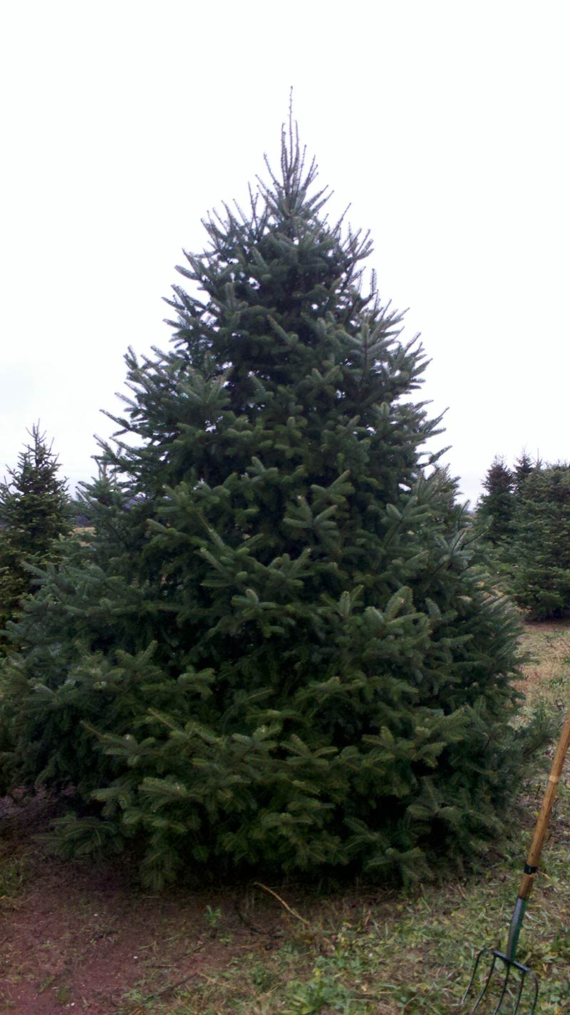 Canaan fir is considered the same as bracted balsam fir and has the scientific name of Abies balsamea var. phanerolepis. It's a favorite Christmas tree species, and its resin is used to make Canada balsam. This tree is also very recommended used as windbreaks