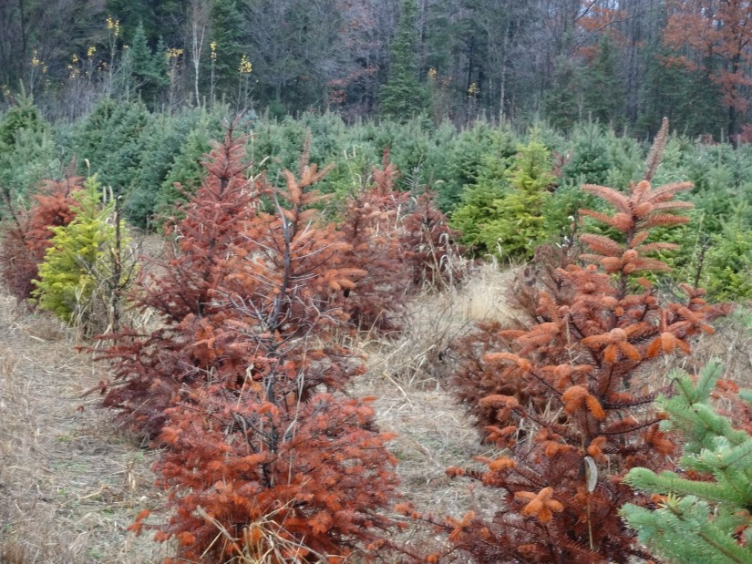 Balsam fir is not free from pests and diseases. In a hot environment, spider mites usually damage the plants. It also faces some diseases such as root rot, cankers, twig blight, and needle rust.