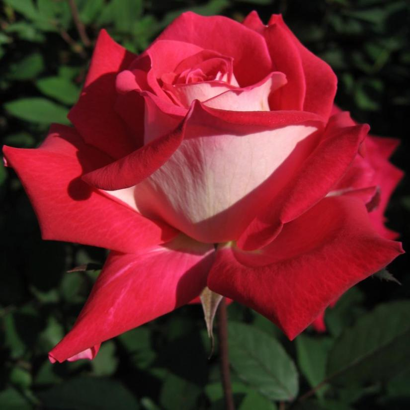 Osiria rose parentage is stated to be the combination of the rose bush named Snowfire and an unknown to the general public seedling.