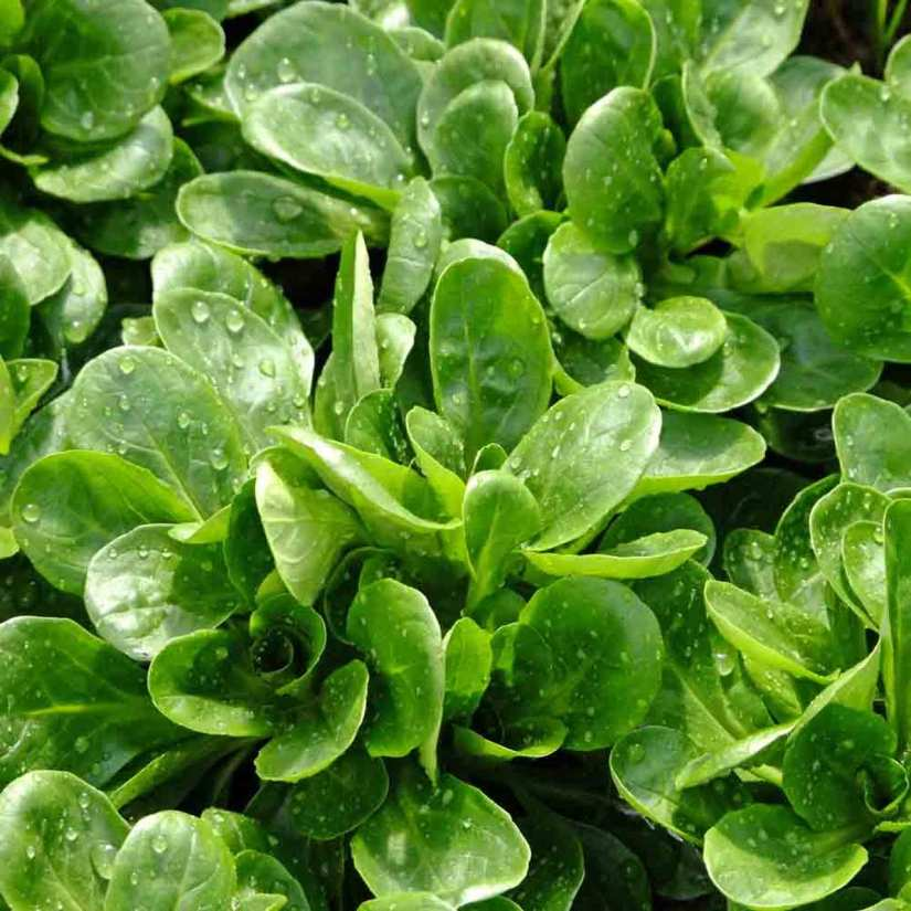 Mache is a delicate salad green with spoon-shaped, rounded green leaves that have a buttery, sweet hazelnut taste.