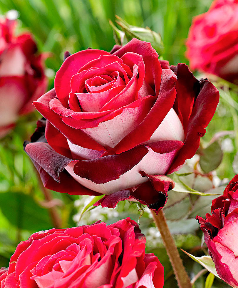 Osiria rose is extremely fragrant and its red and white coloring makes it perfect for romantic bouquets.