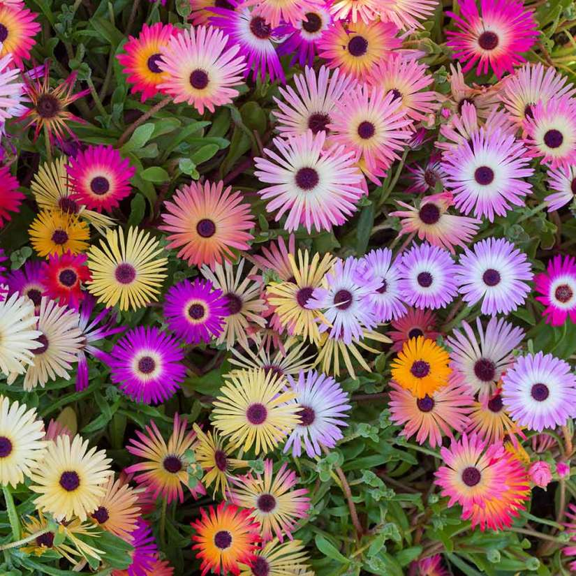 Livingstone daisy flowers have dark centers and are colored pink, white, purple, lavender, crimson, or orange.
