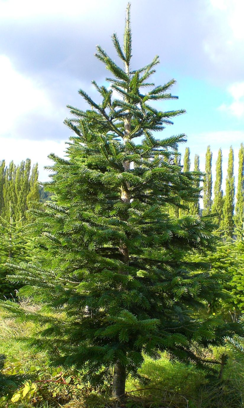 Noble fir is tallest of the true fir genus Abies. Its generic name, Abies, means rising-one, from the ancient Latin abeo, meaning tall tree or ship.